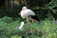 Storks on a nest royalty free stock image