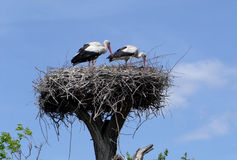 Storks in the nest Royalty Free Stock Photo