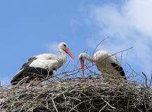 Storks in the nest Royalty Free Stock Photos