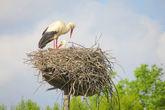 Storks in the nest. A couple of storks in the nest Stock Photo