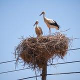 Storks on nest on electricity pole. Couple of White Storks Ciconia ciconia on nest on electricity pole. Portugal Stock Photo