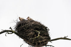 Storks in the nest. A family of storks in a nest high on a tree Stock Photo