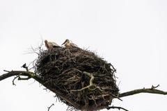 Storks in the nest Stock Photo