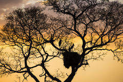 Storks in Nest in Leafless Tree at Sunset Royalty Free Stock Image