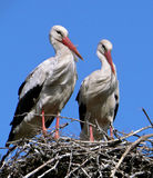 Storks stock photography