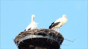 Storks in nest. Storks, pair of storks in nest against a blue sky, spring stock footage