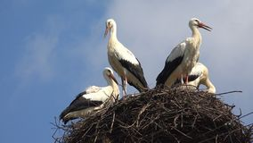 Storks Nest on a Pole, Birds Family Nesting, Flock of Storks in Sky, Nature View stock images