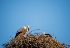 Storks in a nest on a roof Stock Image