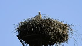 Storks in a nest stock video