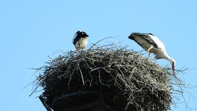 Storks in a nest stock video footage