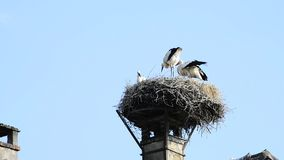 Storks in a nest on a roof in the village of Selz. Storks with offspring in a nest on a roof in the village of Selz, Alsace, France stock footage