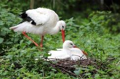 Storks on a nest royalty free stock photo