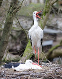 Storks in the nest. Standing and sitting Stock Image