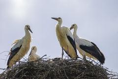 Storks on the nest. Summer Stock Images