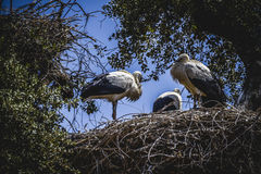 Storks nest on a summer afternoon Royalty Free Stock Image