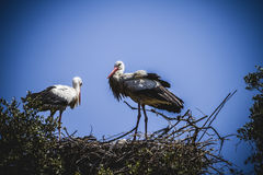 Storks nest on a summer afternoon Royalty Free Stock Photo