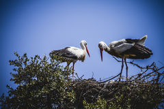 Storks nest on a summer afternoon Royalty Free Stock Photos