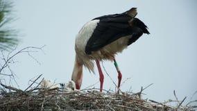 Storks in nest stock video