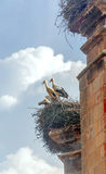 Storks in a nest Royalty Free Stock Image