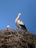 Storks. In a nest under blue sky royalty free stock photography