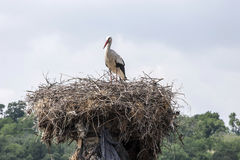 Storks in the nest. Royalty Free Stock Photography