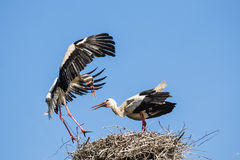 Storks on the nest Stock Images