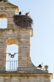 Storks nested in the belfry Royalty Free Stock Images