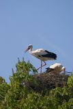 Storks nesting Stock Photos