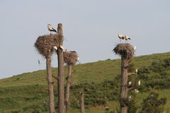 Storks nests in meadow Stock Images