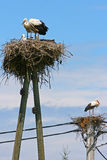 Storks in nests Stock Photo