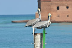 Storks off of Fort Jefferson Stock Photography