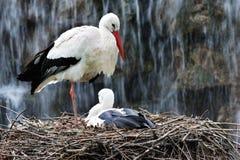 Storks på ett rede Arkivbild