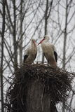 Storks. A pair of storks Royalty Free Stock Photo