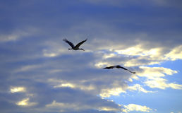Storks pair flight Stock Photo