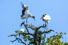 Storks Stock Image