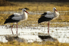 Storks play fighting. Three storks playing fighting in a wet countryside landscape Stock Images