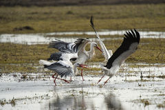 Storks play fighting. Three storks playing fighting in a wet countryside landscape Royalty Free Stock Photo