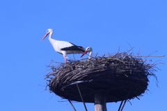 Storks on a pole nest in capelle aan den IJssel in the Netherlan. Ds during spring Stock Photography