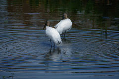 Two Storks birds in pool of water. Two Egrets in pool of water at the everglades stock photo