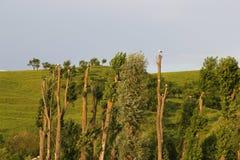 Storks poplars Stork  Stock Images