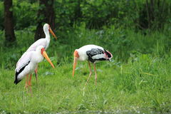 Storks in ran Stock Photos