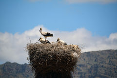 Storks resting in a nest Royalty Free Stock Images