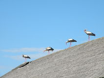 Storks on roof Royalty Free Stock Photography