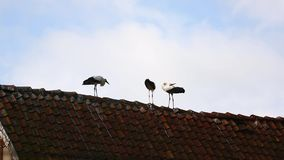 The storks on the roof. Dancing storks on the roof in summer stock video footage