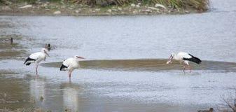 Storks in Salburua Stock Image