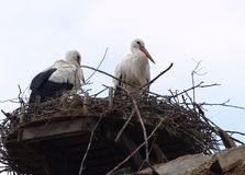 Storks seeking shelter in there nest on the roof top royalty free stock image