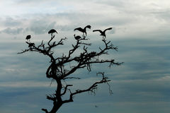 Storks Silhouette in Dead Tree. A group of storks, silhouetted against the darkening sky, stand in the top of a dead tree Stock Photo