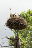 Storks sit in the nest on a pole Stock Photo
