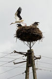 Storks sit in the nest on a pole Stock Photos