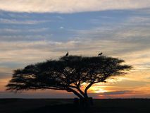 Storks sit on a tree. Birds of passage have a rest on a tree against a decline Stock Images